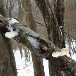 雪化粧したカワラタケ