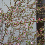 Prunus-pumila