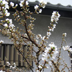 yusuraume