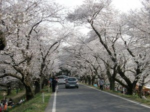 見事な桜トンネル
