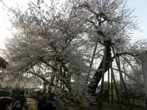 蒲桜(カバザクラ)