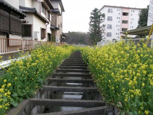 菜の花の群落