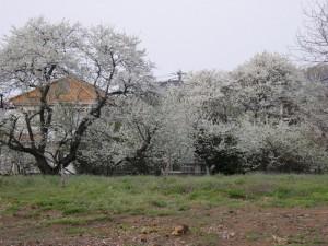 真っ白い花の木