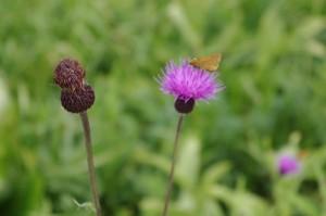 アザミの花にセセリチョウ