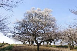 梅林に咲き誇る梅の花