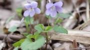 清楚なスミレの花