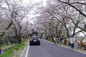 桜土手の桜のトンネル