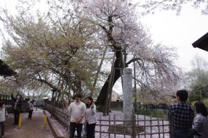 天然記念物の「蒲桜」