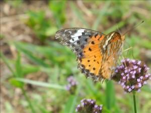 蝶 ツマグロヒョウモン