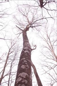 芽ぶきのないブナの木