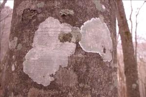 ブナの木肌の模様