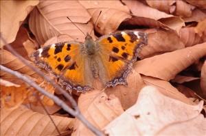ヒオドシ蝶