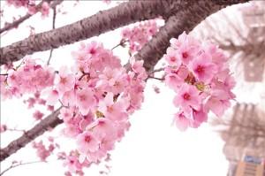 桜の種類までは解りません
