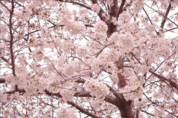 春爛漫の美しさ