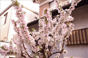 庭に咲いたユスラウメの花