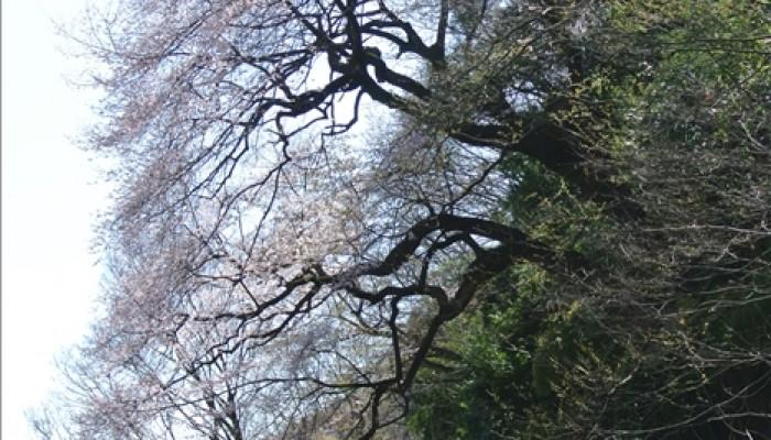 エドヒガンザクラ―北本市指定 天然記念物―